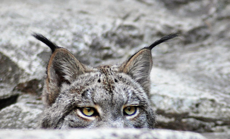 cats-eyes--lynx-bill-cannon (2)
